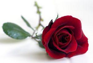 Rose day par shayari - रोज डे पर शायरी 2019 । Rose day shayari in hindi